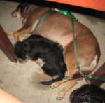 Dogs resting under the table at the restaurant