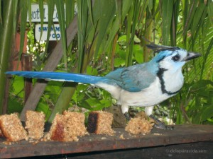 White-Throated Magpie Jay at The Bakery Café, Montezuma, Costa Rica