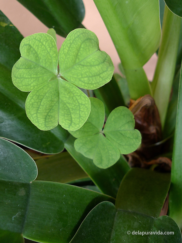 Rainforest Clover, Costa Rica