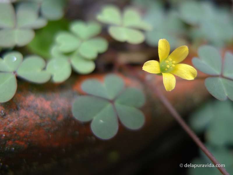 Tiny yellow flower and clovers