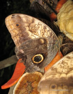 Owl Butterfly (Caligo)