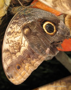 Owl Butterfly turned upside down to see the snake head and owl eye better.