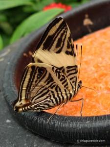 Zebra Mosaic Butterfly (Colobura dirce)