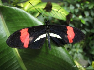 Crimson Patched Longwing (Heliconius erato)