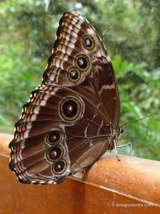 Underside of a Blue Morpho Butterfly