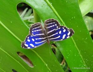 Blue Wave Butterfly (Myscelia Cyaniris)
