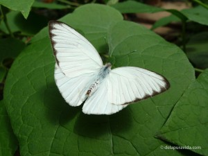 Florida White Butterfly (Pieridae)