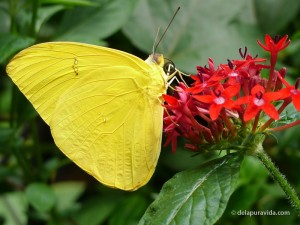 Yellow Pierdae Butterfly resting on red flowers.