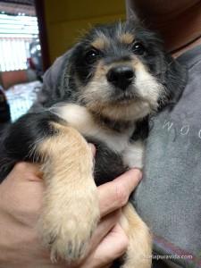 Costa Rican puppy