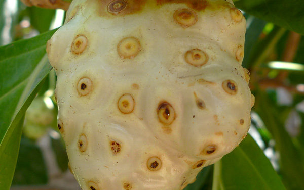 Noni fruit sucks!