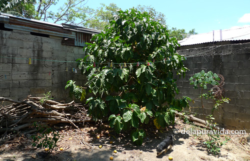 noni tree will grow anywhere