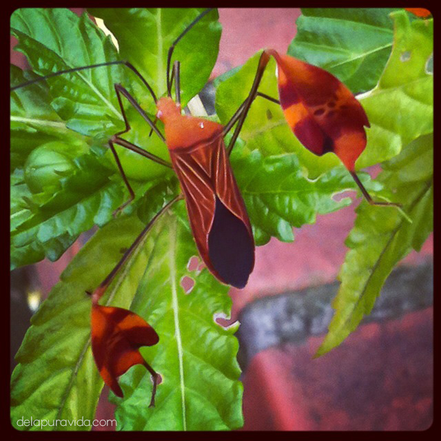 coreidae bug costa rica