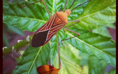 Crazy Looking Leaf Footed Bug