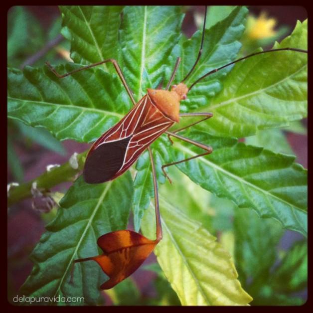 leaf footed bug costa rica