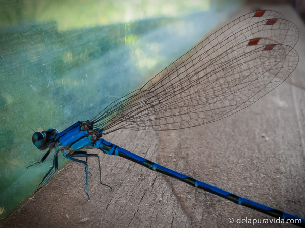 blue dragonfly on the porch of my treehouse in the rainforest