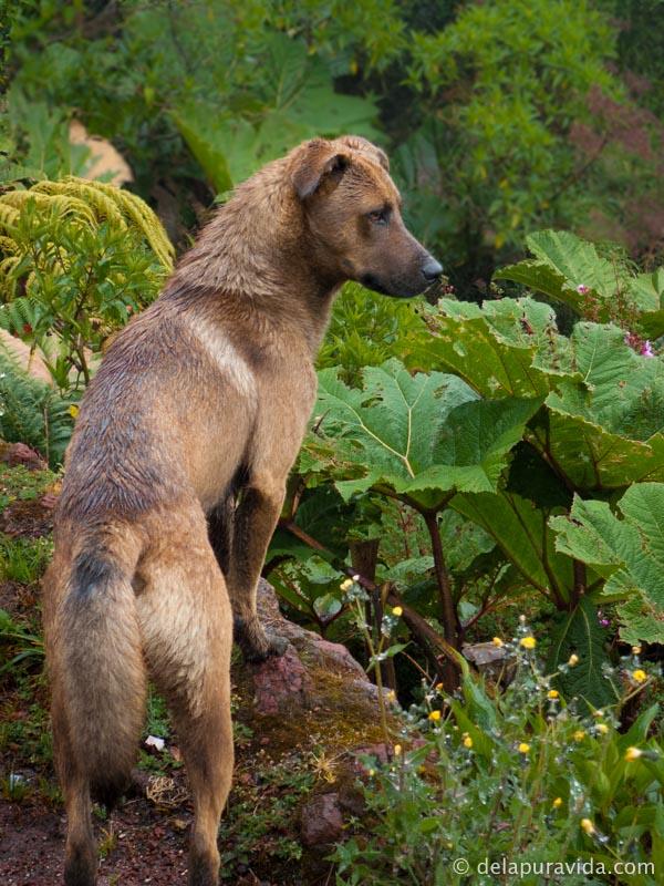a wild dog at poas volcano national park