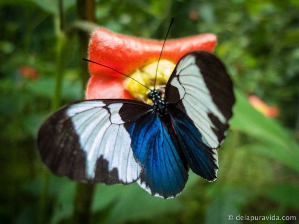 blue, black and white butterfly on a red flower in the rainforest