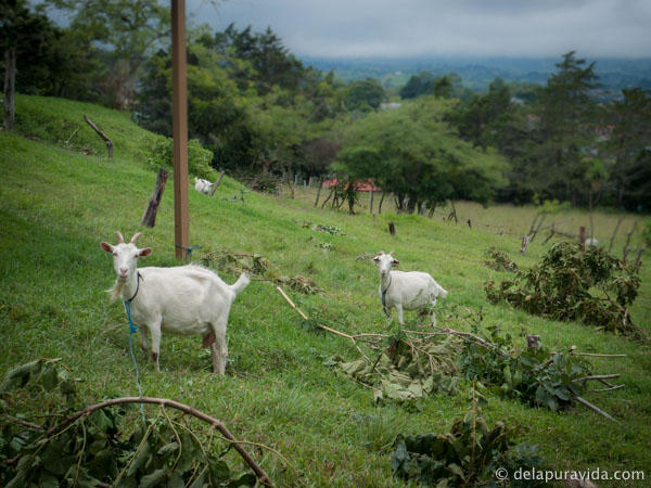 goats eating grass in a field on the mountains of costa rica