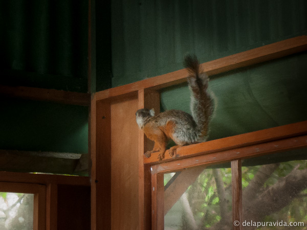 red and gray Costa Rican squirrel on red wood
