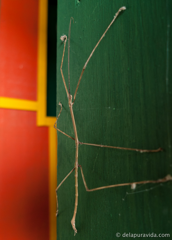 stick bug crawling on my red, green, and yellow door