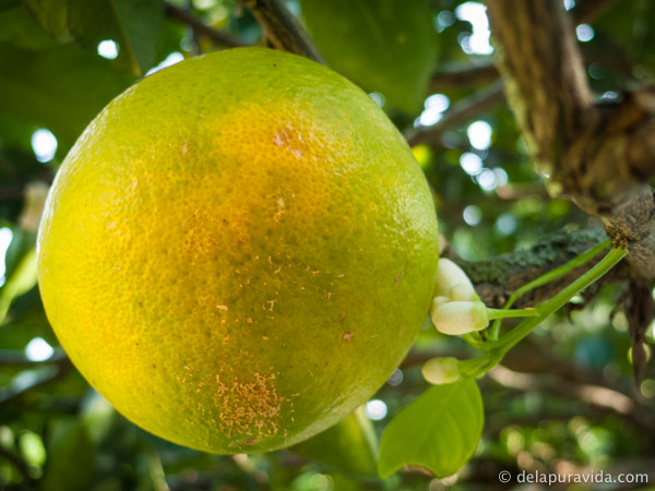 an almost ripe orange in an orange tree in costa rica