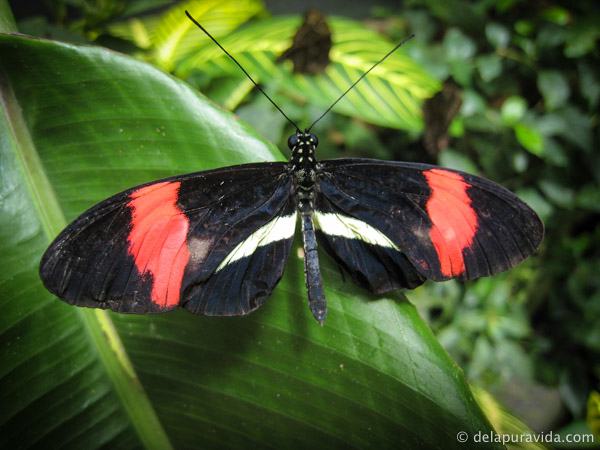 Black, white, and red butterfly on a green leaf in the tropical rainforest