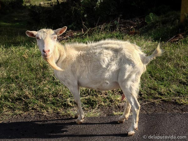goat standing on the side of the road in costa rica