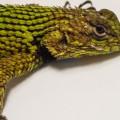 green spiny lizard in my sink in costa rica