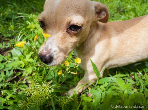 chihuahua daschund puppy playing in green grass and yellow flowers