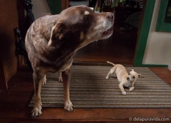 big dog barking at tiny puppy