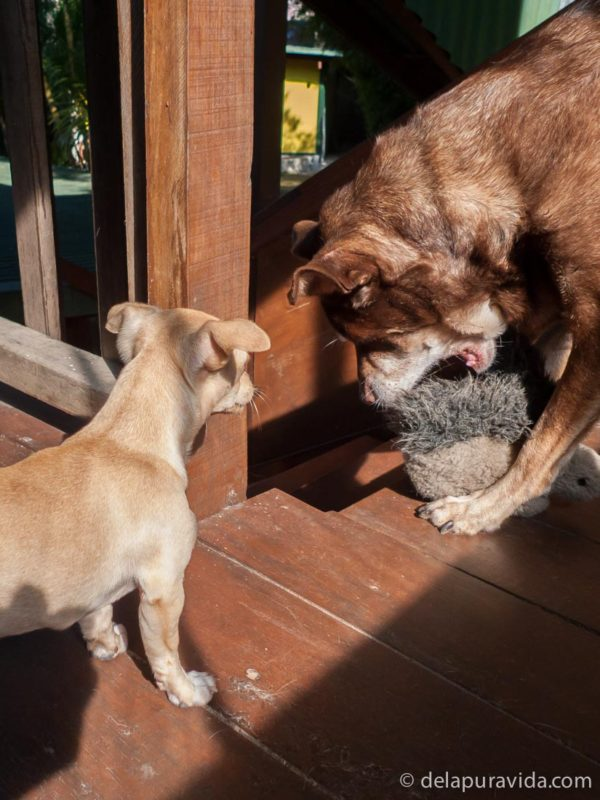 puppy brought squirrel chew toy to big dog to play with