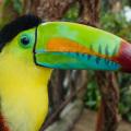 Costa Rica keel-billed toucan