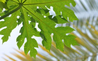 Papaya Leaf Cure for Dengue Fever and Chikungunya