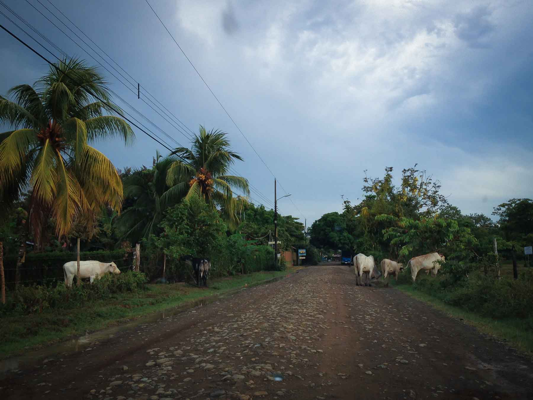dirt road and cows costa rica
