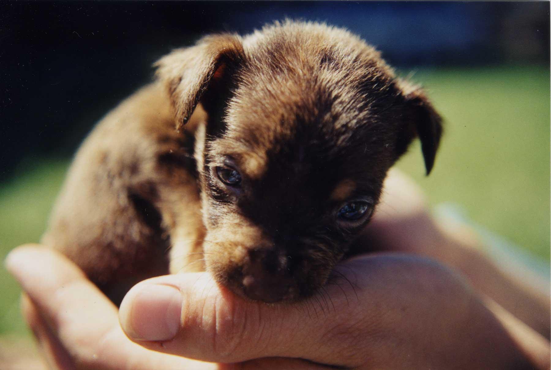 rottweiler pitt bull puppy