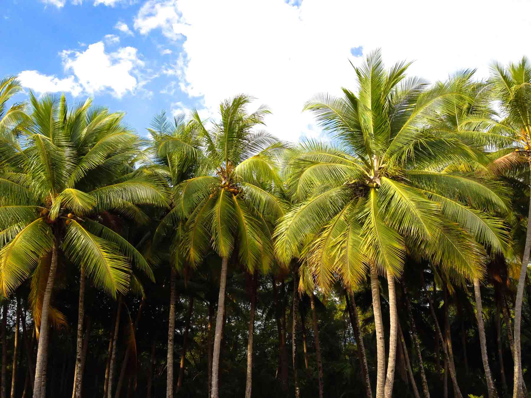 Palm trees line the shore at Marino Ballena National Park, Costa Rica.