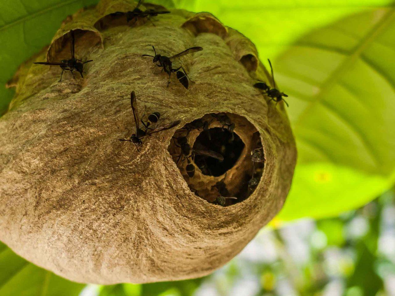 wasp nest costa rica