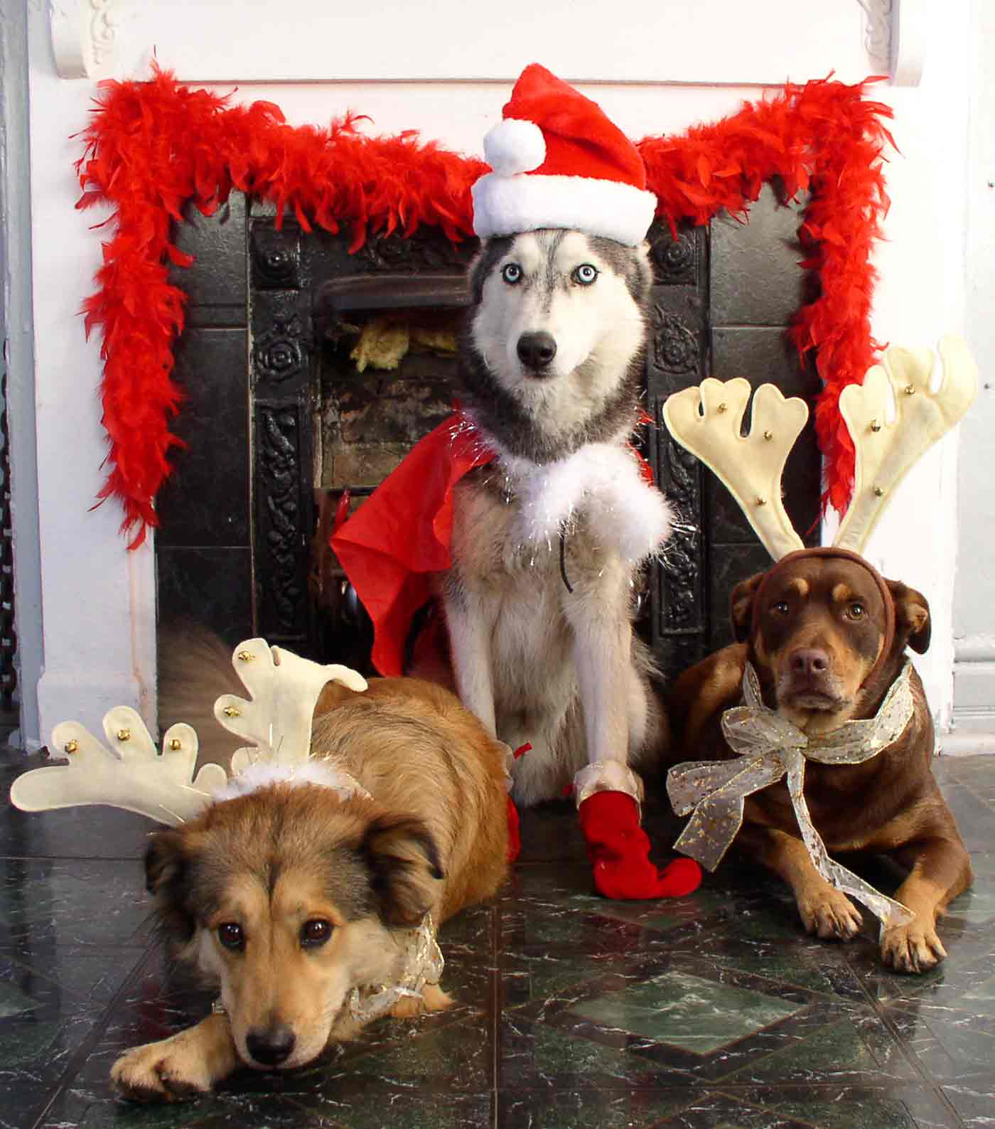 dogs dressed up for a christmas card