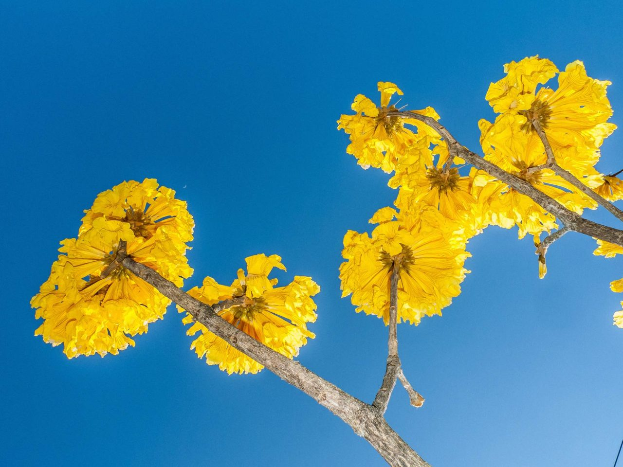yellow flower tree, Corteza Amarilla, costa rica