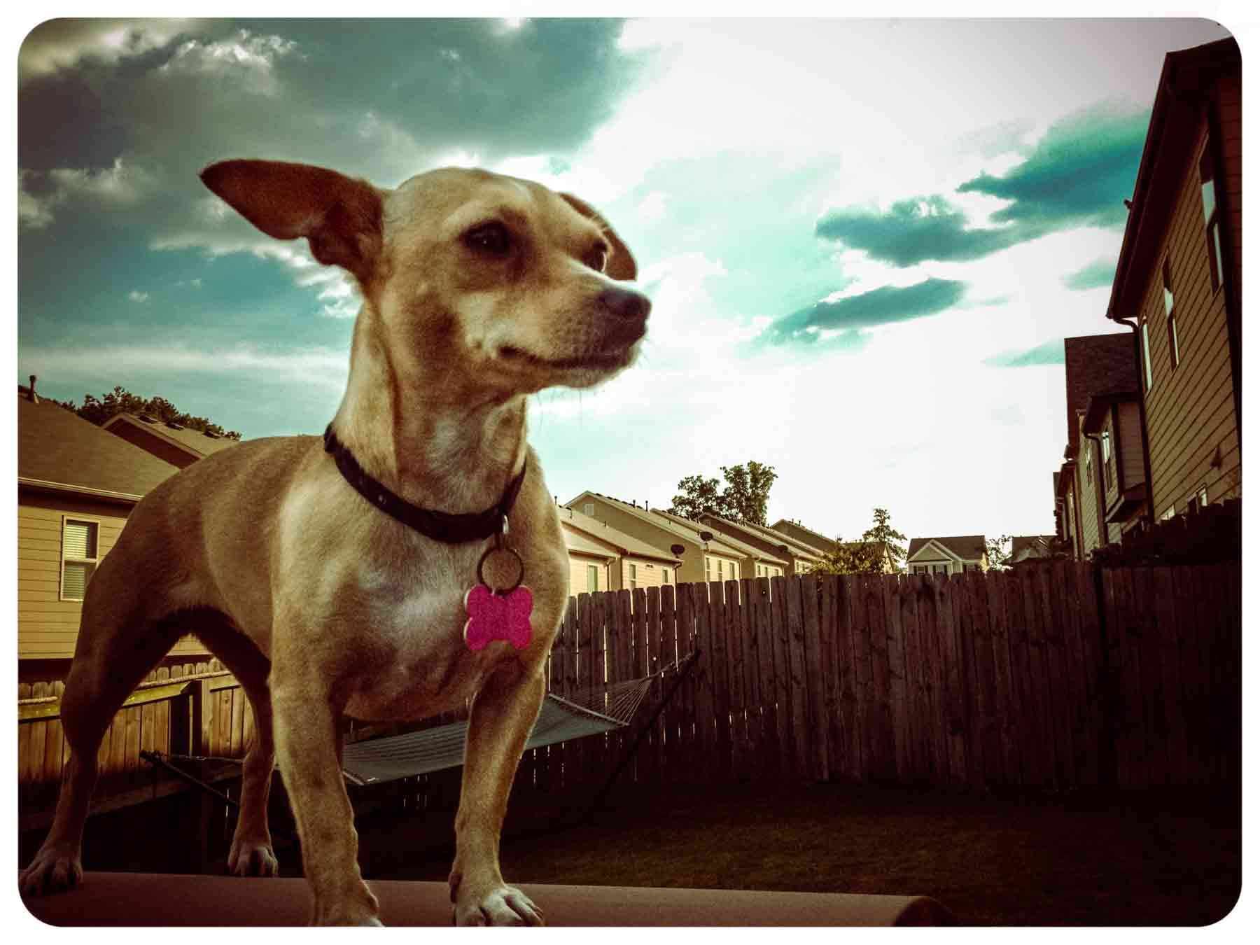 Mali the Chihuahua in suburbia USA