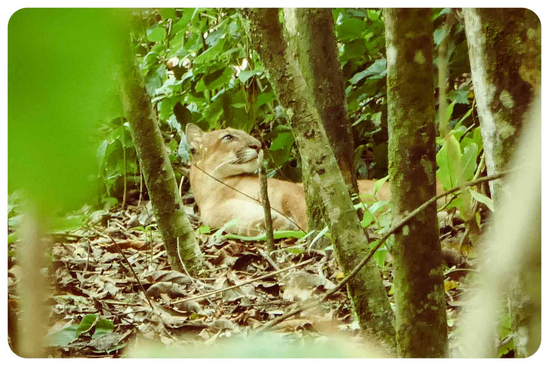 puma in corcovado national park, costa rica